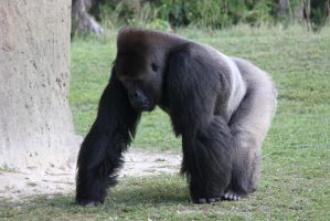 00253 - Stooped Gorilla by emstock