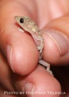 Itty Bitty Gecko by HeatherTelesca