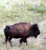 Bison in the Black Hills by NycterisA