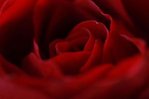Heart of the Rose by yaelperez