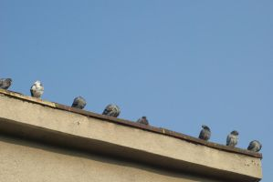 pigeons 4 by deepest-stock