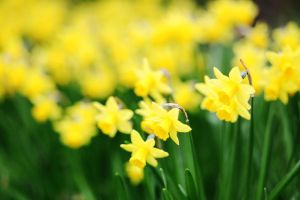 Daffodils. by kle0012