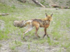 red fox 27 by nevertoolate-stock