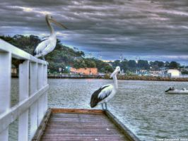 Pelicans On The Jetty by djzontheball