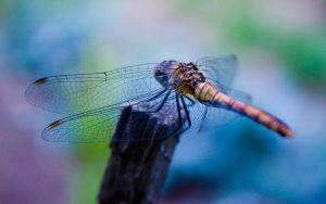 Dragonfly 1 by zzaarr-stock