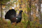 Wood Grouse by CarpathianWolf