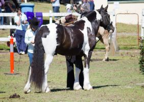 STOCK - Canungra Show 2012 096 by fillyrox