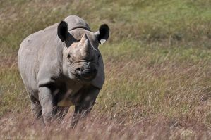 Black Rhinoceros 3786 by robbobert