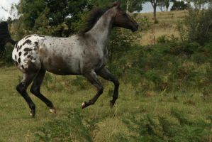Appaloosa Gallop/Canter/Run by YumpyStock
