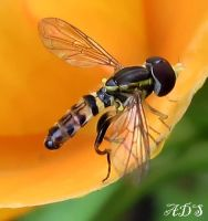 Hoverfly by Coatlique