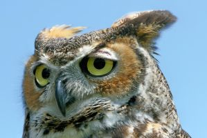 Great Horned Owl Close Up by Kippenwolf