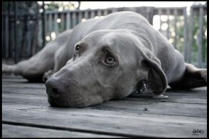 Lazy Weimaraner by 0Lord