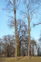 Pair of trees in Potsdam by Brianetta