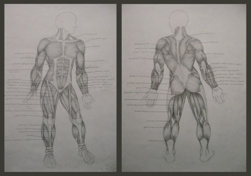 muscular system by fried-soup