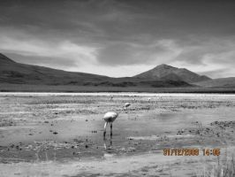 Bolivian Flamingo by Guppy0031