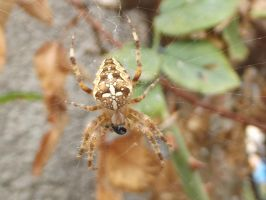 Spider by Angeliqueperrin