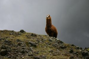 Alpaca on lookout by Danwhitedesigns