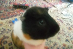 Curious guinea pig by LudwigGirl