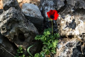 Poppy and shadow by ShlomitMessica