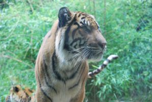 tiger 3.4 by meihua-stock