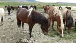 Icelandic Horses #19 by BlueWaterValley