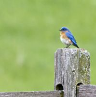 Bluebird, waiting by dkwynia