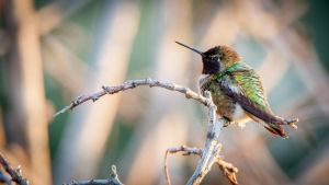 Hummer fluffed by kayaksailor