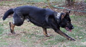 German Shepherd Running2 by BellaNotte