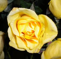 A Yellow Rose by uncannyphantom