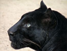 big black cat by Dieffi