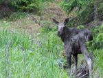 Moose last year's calf by BanditArtDesign