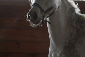 Gray Welsh Pony Gelding at Liberty Headshot by HorseStockPhotos