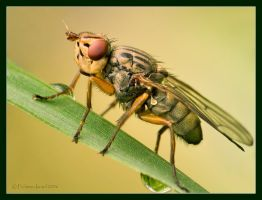 Flower Fly. by israelfi