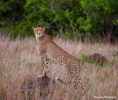 Cheetah Surveying by Okavanga