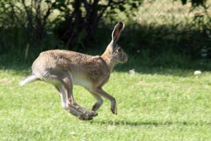 Hare Speed by TomiTapio