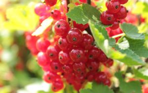 Red Currant WP by wuestenbrand