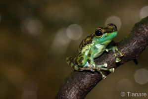 Black-spotted Stream Frog by Tianare