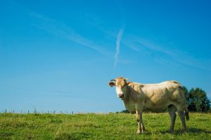 Cow by Tom-Mosack