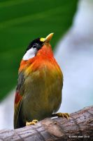 Silver-Eared Mesia by meihua