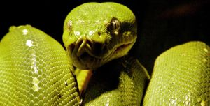 Green Tree Python (Morelia viridis) 2 by Illirik