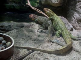 Northern Caiman Lizard 01 by animalphotos
