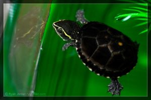 Mini Musk Turtle by theperfectlestat