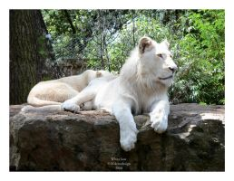 White lion by Mikotodesign