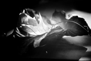 Leaves by Lineola
