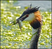 Great Crested Grebe With Fish by andy-j-s