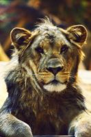 Male Lion by shaina74