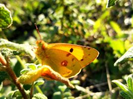 Yellow clouded butterfly! by as15245467