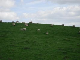 Stock: Sheep Field 1 by legendpendragon9