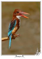 Right side - Kingfisher by AMROU-A