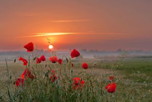 Poppies story by lica20